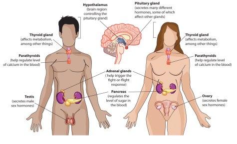 the-endocrine-system.jpg
